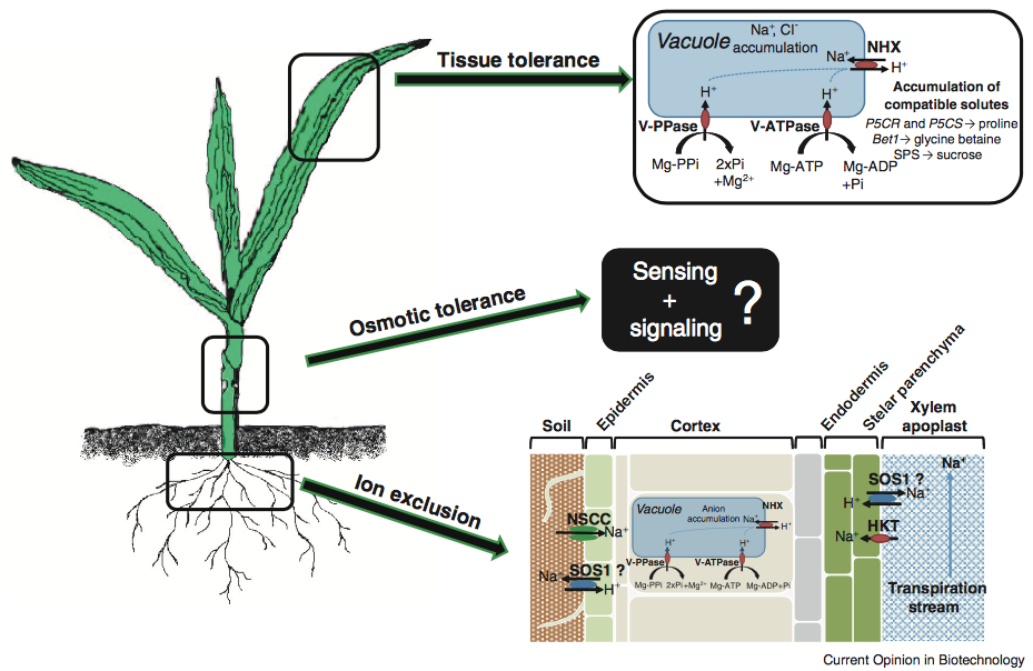 Plant Adaptation Sterategy to Salinity.png